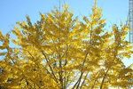 Foto #45516 - Yellow leaves of a linden tree