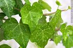 Foto #57884 - Wet ivy leaves
