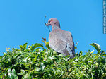 Foto #66788 - Picazuro pigeon with a branch on its beak building a nest