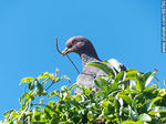 Foto #66790 - Picazuro pigeon with a branch on its beak building a nest