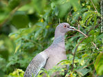 Foto #66794 - Picazuro pigeon with a branch on its beak building a nest