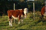 Foto #26841 - Hereford calf